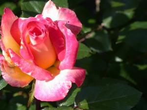 roses 5-14 007