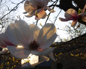 P1010022_EarlyMagnolias_WebEdit (1)