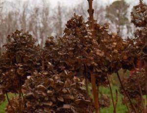 Hydrangea macrophylla winter