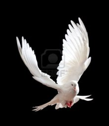 6518310-a-free-flying-white-dove-isolated-on-a-black-background